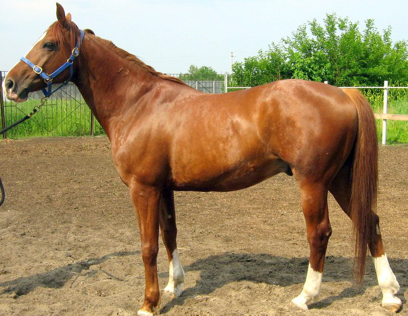horse breeds List of horse breeds 1 list of horse breeds light or saddle horse breeds heavy or draft horse breeds this page is a list of horse and pony breeds, and also includes terms.